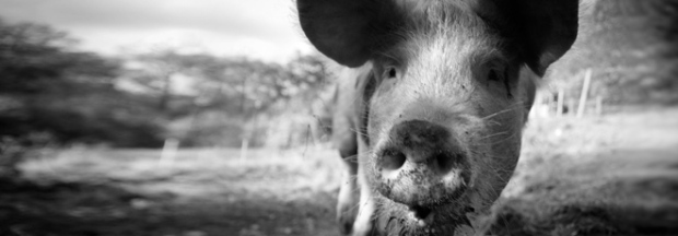 Oxford. One of our rare-breed pigs.